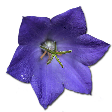 karpaten-glockenblume-blau.jpg