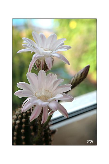 blog_6456-kaktusbluten.jpg