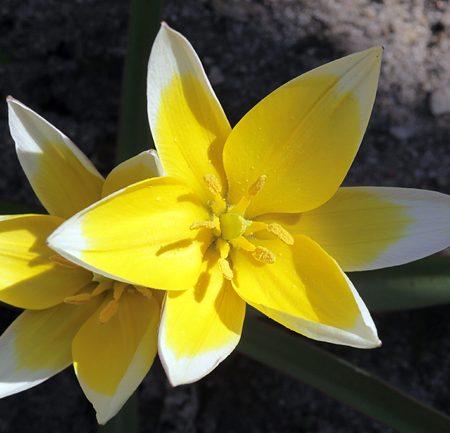 Tulipa turkestanica – Turkestanische Tulpe