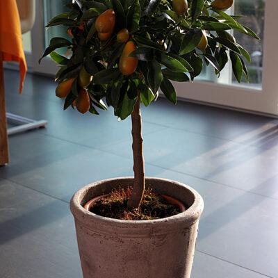 Kumquat 'Gigante'