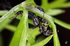 Ameise melkt ihre Blattlausfarm im Fenchel