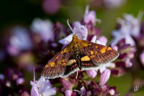 Unbekannter Mini-Schmetterling