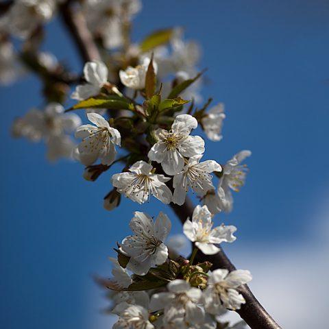 Unser Kirschbaum blüht…