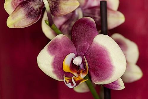 Eine neues Orchidee …