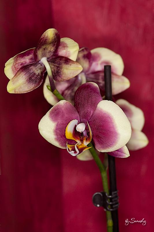 helles Gelb mit lila Kuhflecken