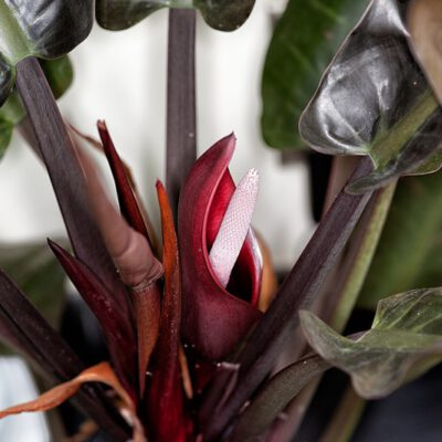 Mein Philodendron blüht…