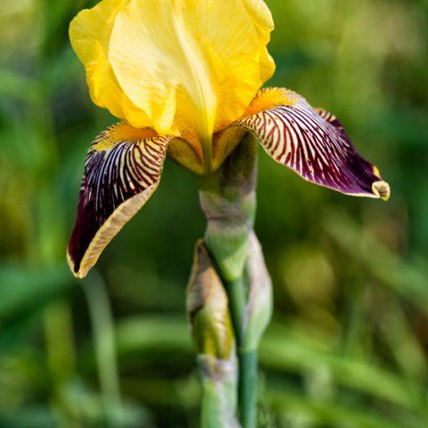 """Iris germanica """"Flammenschwert"""""""