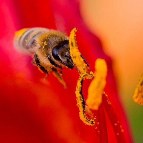 """Biene bei der """"Honigernte"""""""