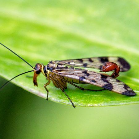 Skorpionsfliege (Panorpa communis)