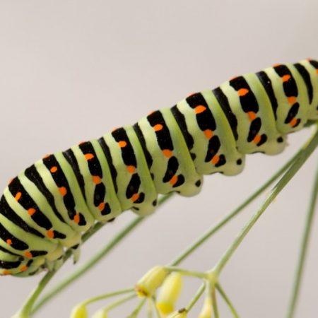 Neue Schwalbenschwanzraupe wohnt im Schmetterlingshaus