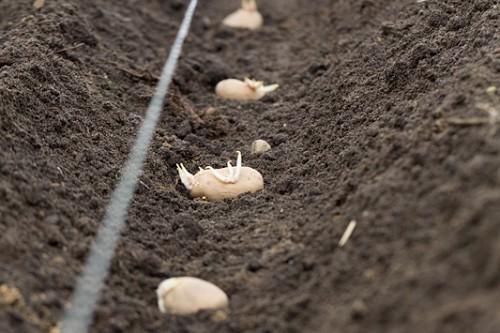 Kartoffeln im Mai, kommen glei…