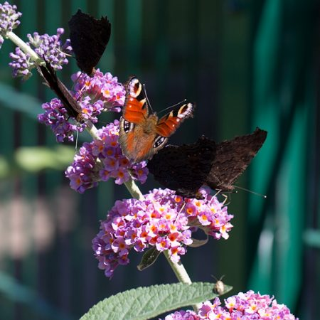 Schmetterling des Sommers 2013 in meinem Garten