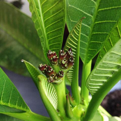 Unsere Plumeria bekommt Blüten…