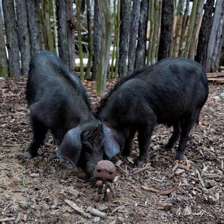 pig attack