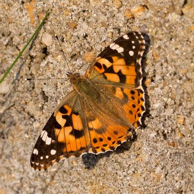 Schmetterling…