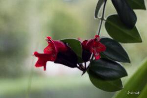 Blüte der Schamblume