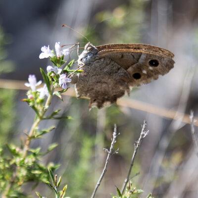 Ein Schmetterling aus Kroatien