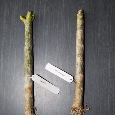 Plumeria (Frangipani) zu Haus und in der Ferne