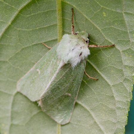 Grüneule (Calamia tridens)