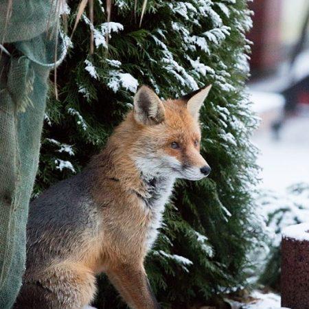 Fuchs, Du hast die Gans gestohlen…