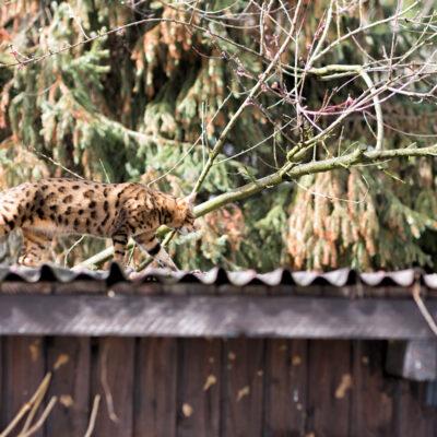 Leopard auf dem Dach gesichtet